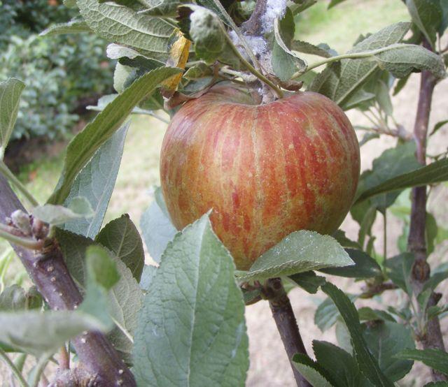 braeburnapple
