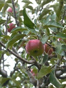 AppleBilpin