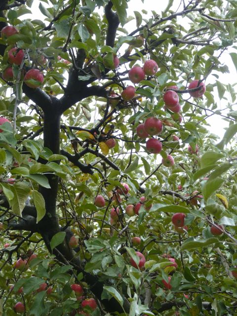 Apple tree with red apples on it