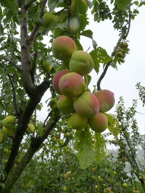 Green plums with pink blush ripening on a tree.