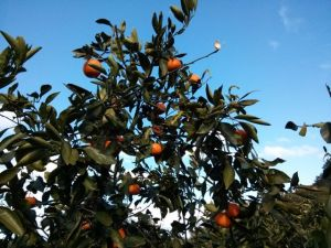 A mandarin tree with ripe mandarins