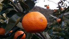 A mandarin on a tree