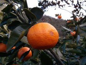 A mandarin on a tree