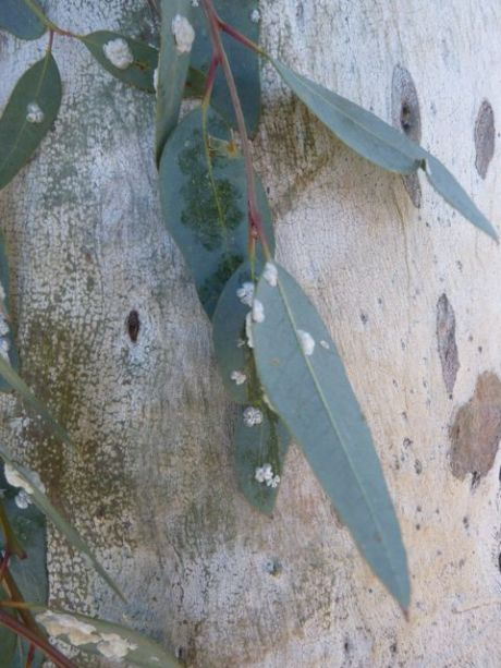 Small white scale insects on a gum leaf
